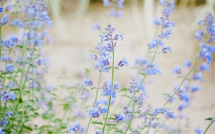 blue small flowers-flowers photography Wallpapers Views:4808