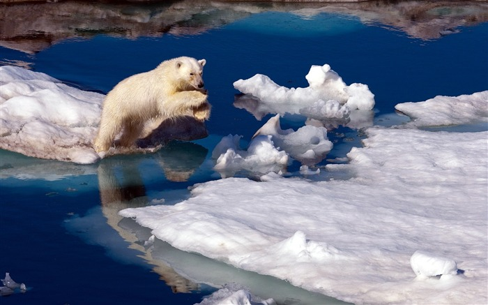 brave polar bear-Animal Widescreen Wallpaper Views:8464