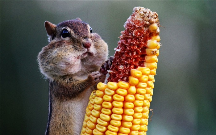 chipmunk eating corn-Animal Widescreen Wallpaper Views:9405