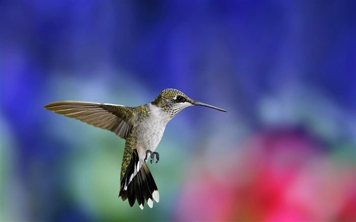 colibri bird-Animal Widescreen Wallpaper Views:14451