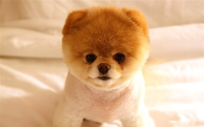 cute dog boo-animal photography wallpapers Views:158261