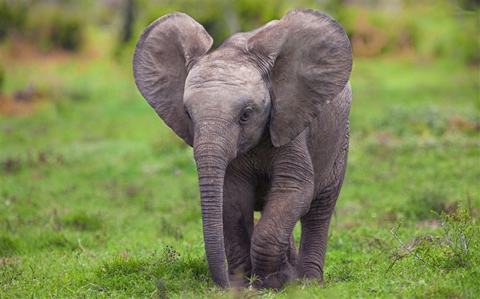 elephant-animal photography wallpapers Views:5175