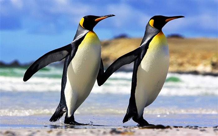 emperor penguins couple-Animal Widescreen Wallpaper Views:24443