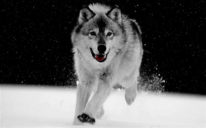 gray wolf-animal photography wallpapers Views:34713