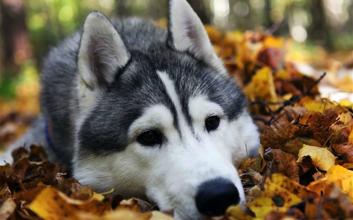 husky-animal photography wallpapers Views:4790
