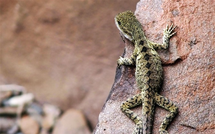 lizard-animal photography wallpapers Views:3939