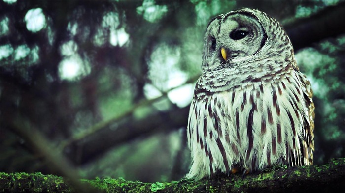 owl-animal photography wallpapers Views:4780