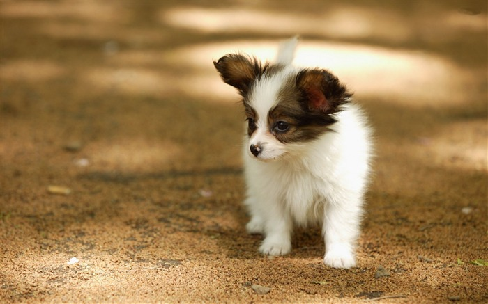 papillon puppy-animal photography wallpapers Views:7956