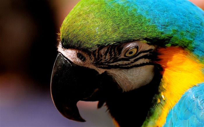 parrot close up-Animal photography Wallpaper Views:12476