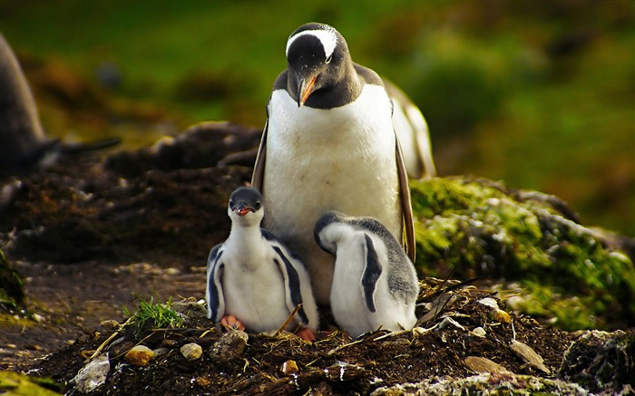 penguins-animal photography wallpapers Views:8545
