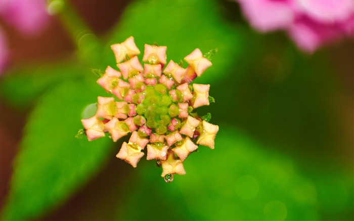 pink lantana-flowers photography Wallpapers Views:4780