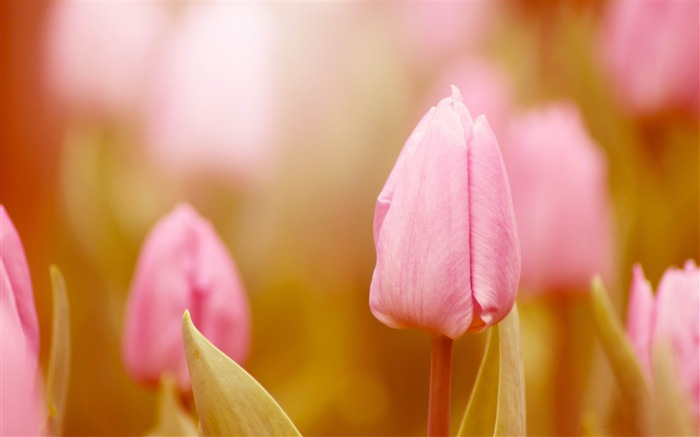 pink tulip-flowers photography Wallpapers Views:10969