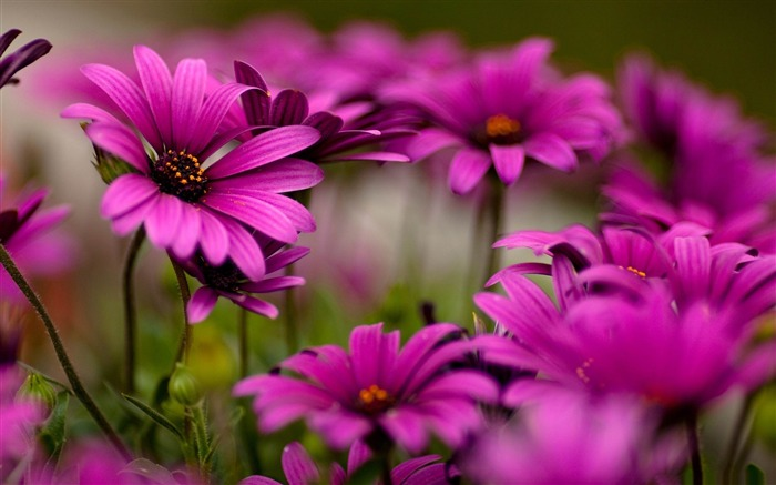 purple daisies-flowers photography Wallpapers Views:4860