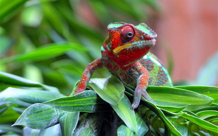 red chameleon-Animal photography Wallpaper Views:10723