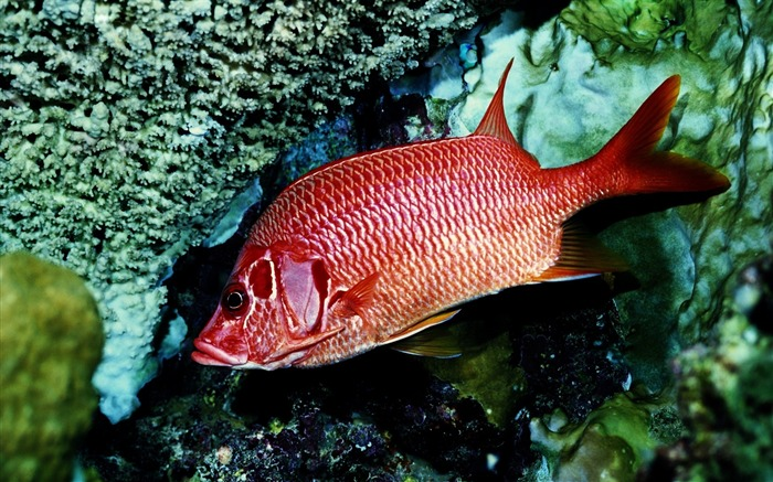 red fish alone-Animal Widescreen Wallpaper Views:5762