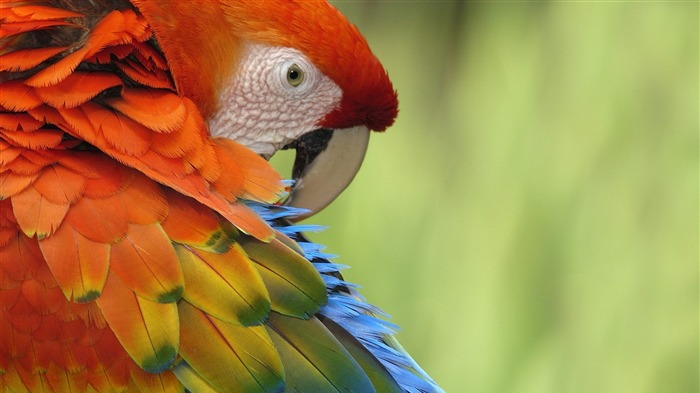 red parrot close up-Animal photography Wallpaper Views:13911