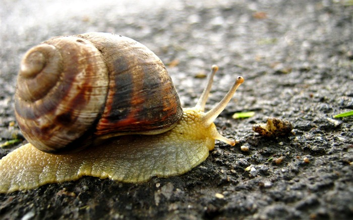 snail on the road-Animal photography Wallpaper Views:3321