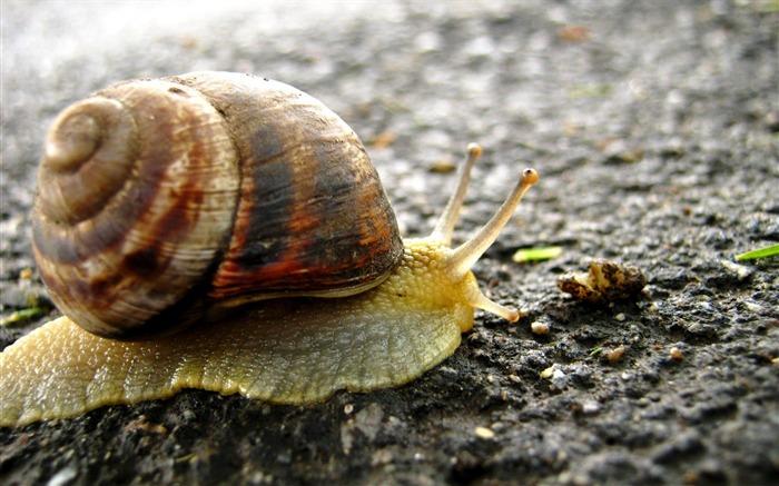 蜗牛在路上-动物摄影壁纸