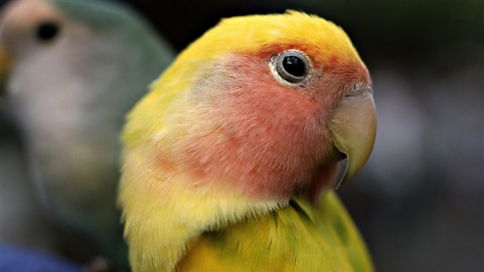 sun parakeet-animal photography wallpapers Views:2965