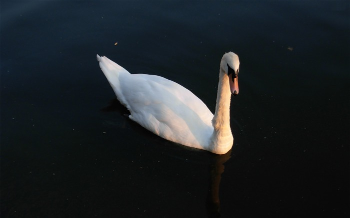 swan-animal photography wallpapers Views:3951