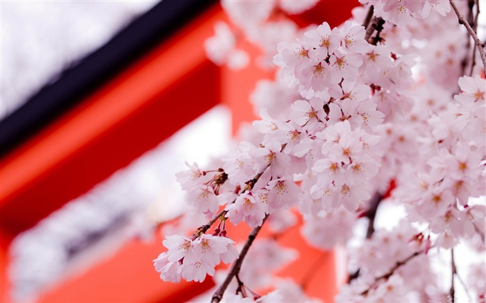 white cherry blossoms-flowers photography Wallpapers Views:6158