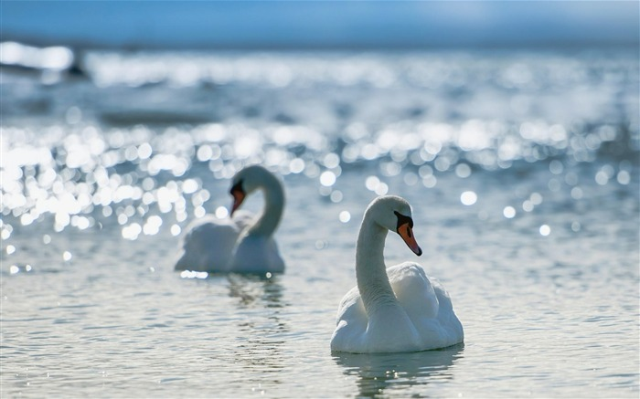 white swans-Animal Widescreen Wallpaper Views:3868