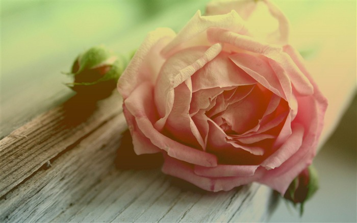 withered peach rose-flowers photography Wallpapers Views:6523