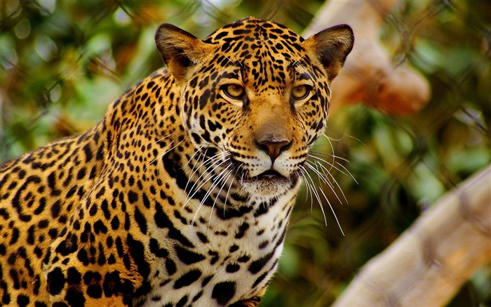 young jaguar-Animal Widescreen Wallpaper Views:96099