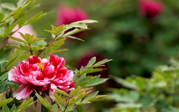 Exquisite Beauty-bright peony flower photography Wallpapers Views:13038