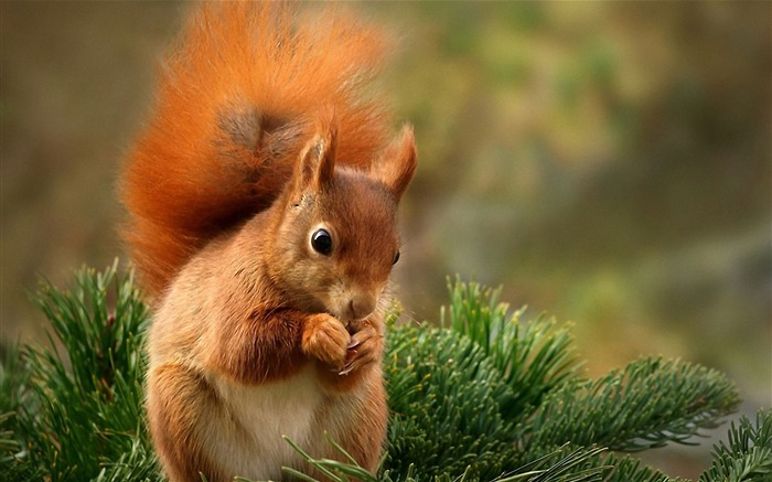 Forest Elf-cute squirrel HD Wallpapers picture 03 Views:19955