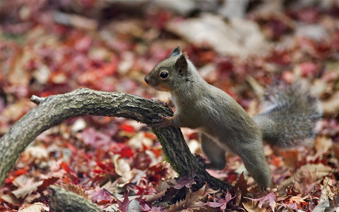 Forest Elf-cute squirrel HD Wallpapers picture 06 Views:3702
