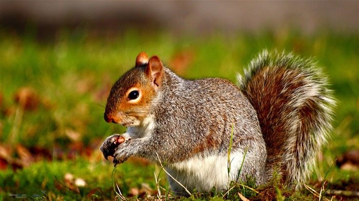 Forest Elf-cute squirrel HD Wallpapers picture 12 Views:3540
