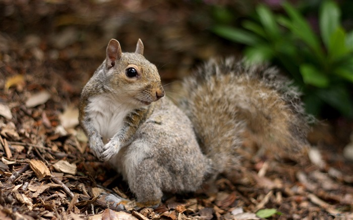 Forest Elf-cute squirrel HD Wallpapers picture 15 Views:3758