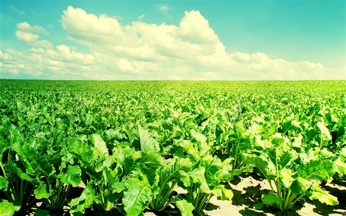 Of vegetable fields in the sunshine-Small fresh landscape wallpaper Views:13001