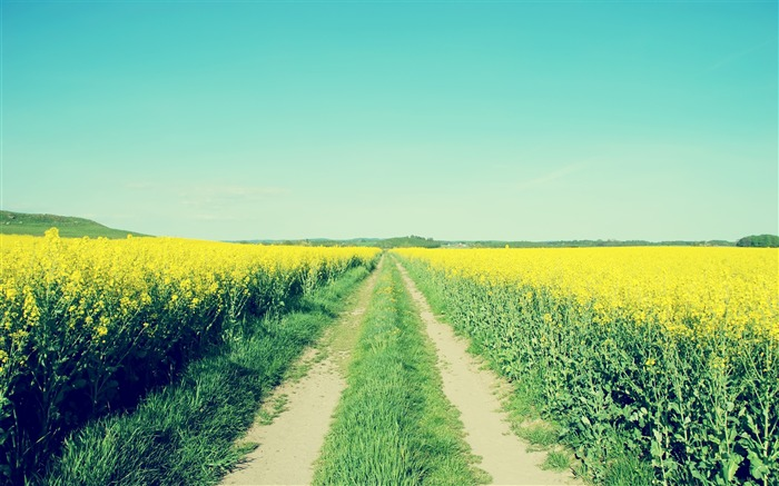 Rape fields-Small fresh landscape wallpaper Views:4114