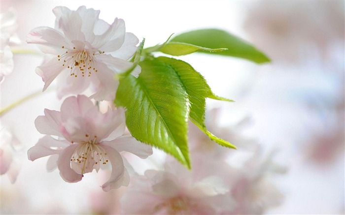 cherry flowers-Flowers and plants wallpaper Views:4431