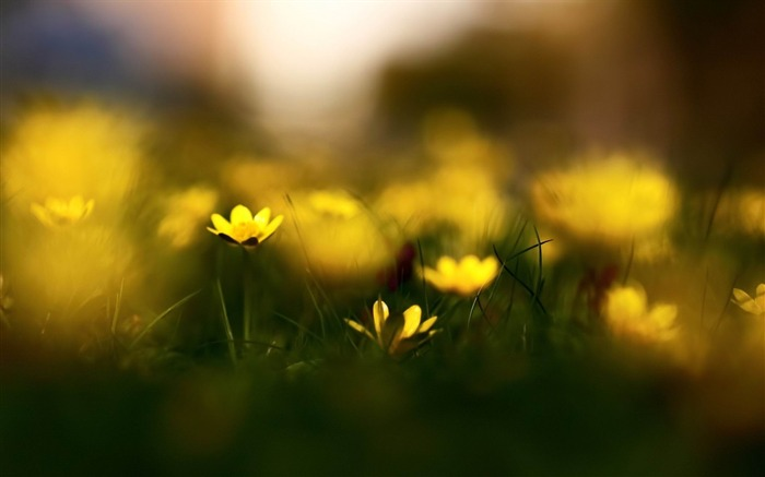 close up yellow flowers-Flowers and plants wallpaper Views:4204
