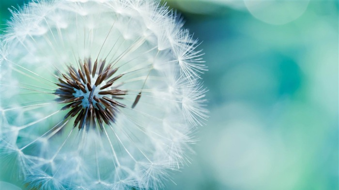 dandelion-Flowers and plants wallpaper Views:7461