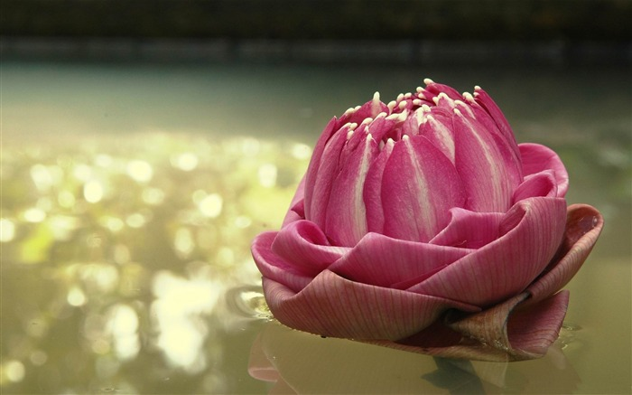 lotus thailand-2012 Natural plant Featured wallpaper Views:3692
