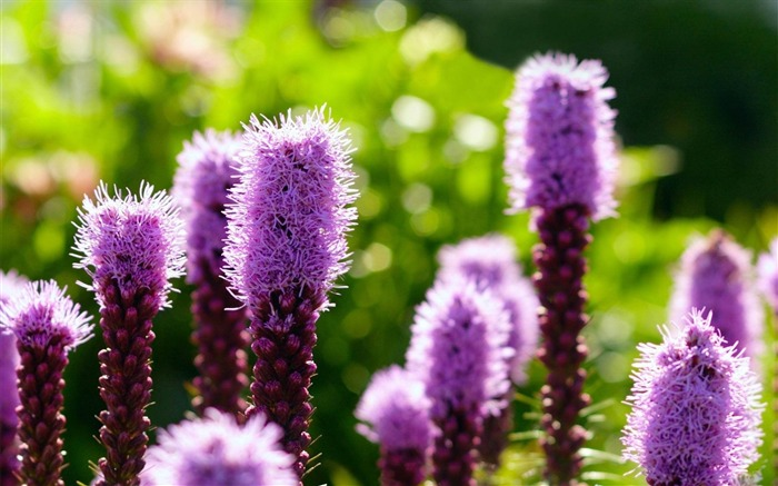 purple flowers-Flowers and plants wallpaper Views:3415