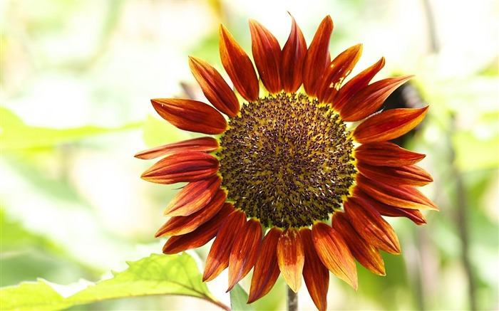 red sunflower-Flowers and plants wallpaper Views:9583