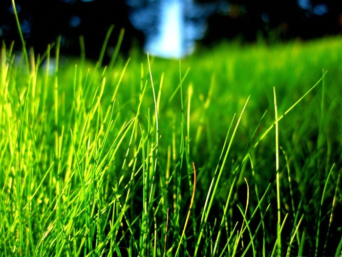 thin grass-2012 Natural plant Featured wallpaper Views:2751