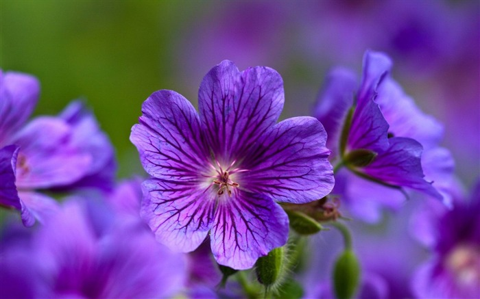 violet flowers-Flowers and plants wallpaper Views:8354