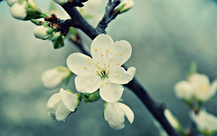 white cherries flowers vintage-Flowers and plants wallpaper Views:7281
