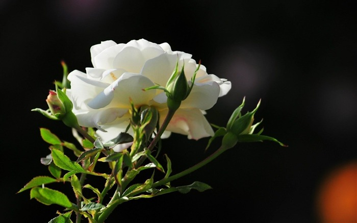 white rose-Flowers and plants wallpaper Views:13336