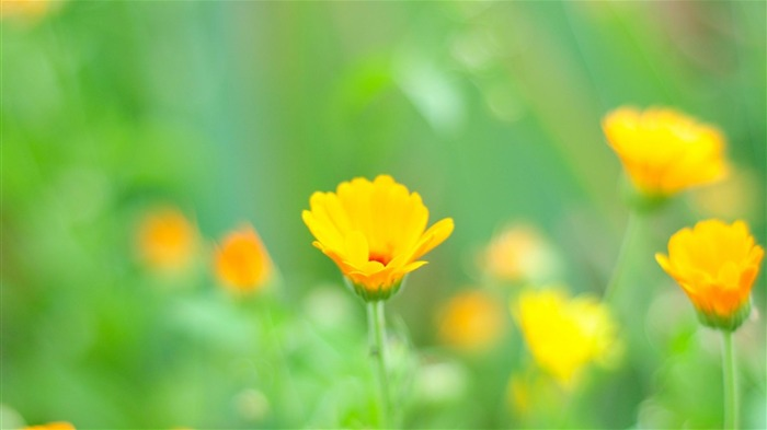 yellow flowers-Flowers and plants wallpaper Views:5746