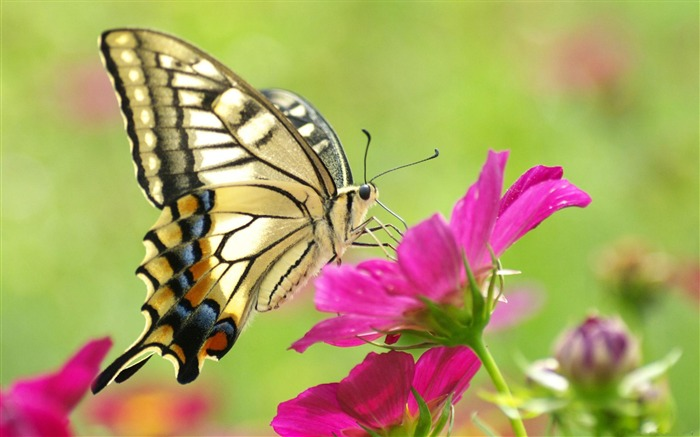 Butterfly Flower-Animal Wizard photography wallpaper Views:18736