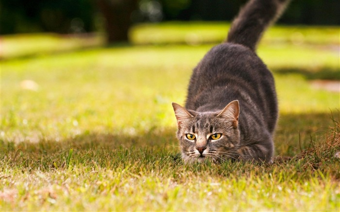 Cat Hunting-Animal Wizard photography wallpaper Views:8344