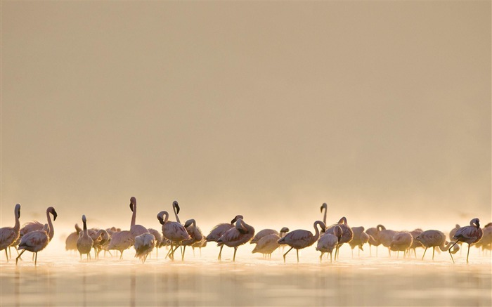 Flamingos-Animal Wizard photography wallpaper Views:4135