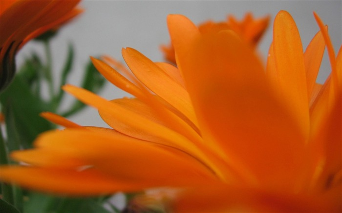 Orange flowers-Ubuntu 10-04 LTS official beautiful Desktop Wallpapers Views:3557